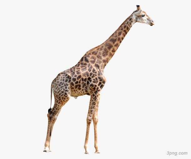 Png for Prix d une girafe a poncer